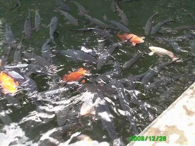 Ikan Dewa/Kancra Bodas